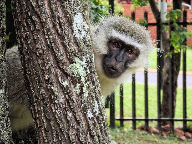 Vervet monkeys , sound, communication