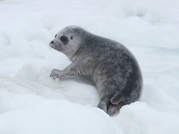 Interesting facts about different unique species of seals, Ringed seal (Pusa hispida or Phoca hispida) pup