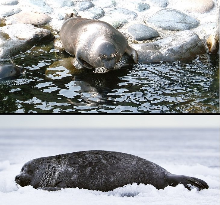 Interesting facts about different unique species of seals, Baikal Seal (Pusa sibirica)