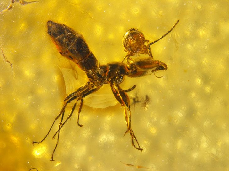 Mite and ant locked together in amber