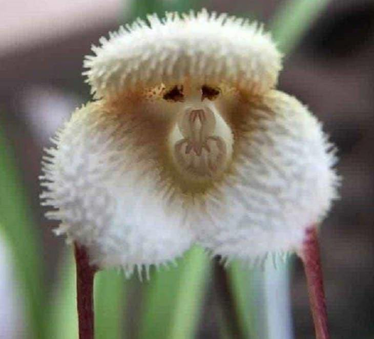 Ordinary objects with unusual appearances or designs,An orchid that looks like a cross between a chimpanzee and a poodle