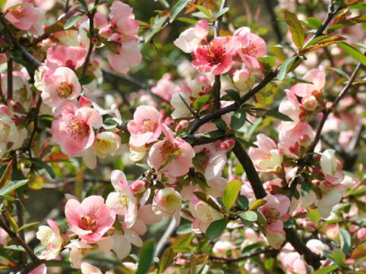 Beautiful and colorful flowering plants, shrubs and bushes for the garden that bloom flowers and berries, Chaenomeles, Quince