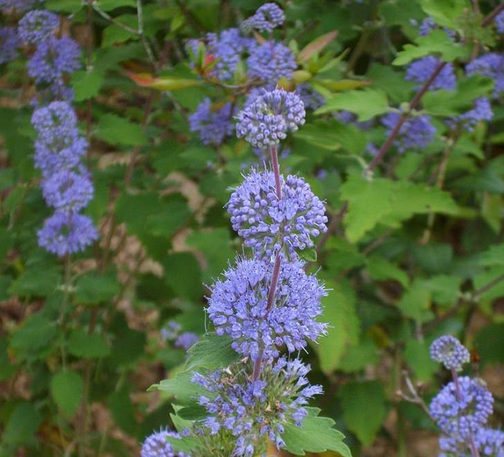 Beautiful and colorful flowering plants, shrubs and bushes for the garden that bloom flowers and berries, Caryopteris