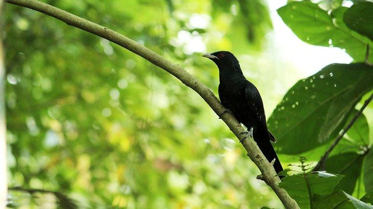 Asian Koel, Best Singing Birds