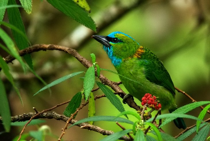 Beautiful, colorful birds native and endemic to Borneo, third largest island in the world, located in Maritime Southeast Asia, The golden-naped barbet (Psilopogon pulcherrimus)