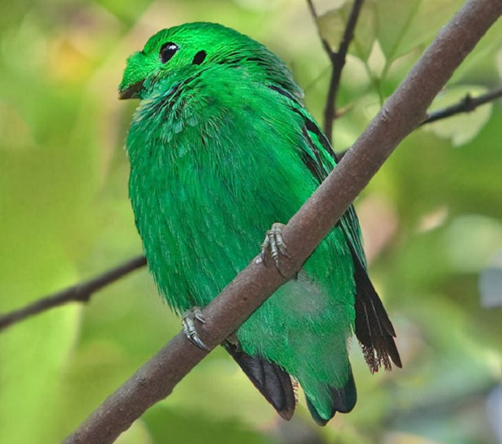 Beautiful, colorful birds native and endemic to Borneo, third largest island in the world, located in Maritime Southeast Asia, Hose's broadbill (Calyptomena hosii)