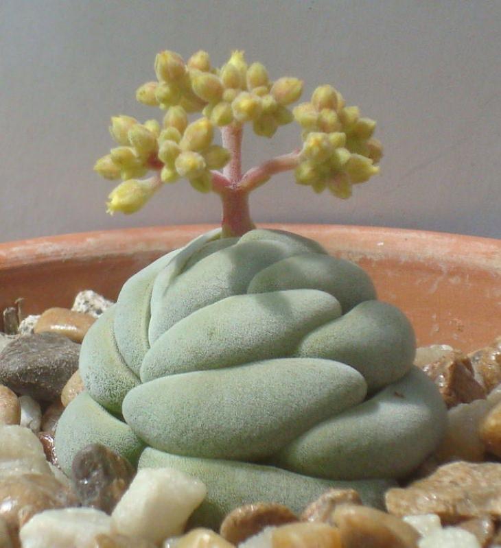 photos of succulents Crassula alstonii