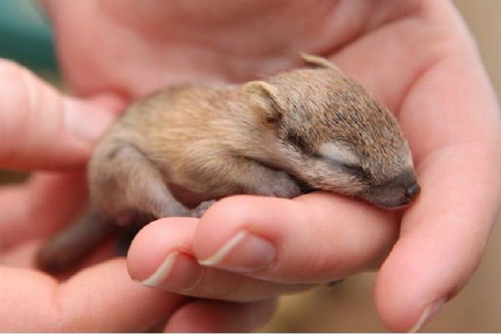 Adorable photographs of rare baby animals, Baby Numbat