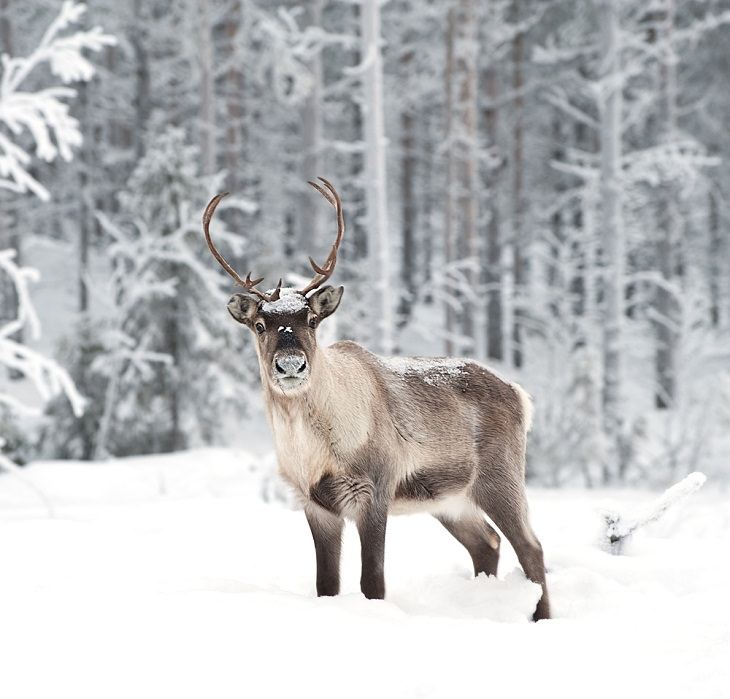 Reindeers, super sight