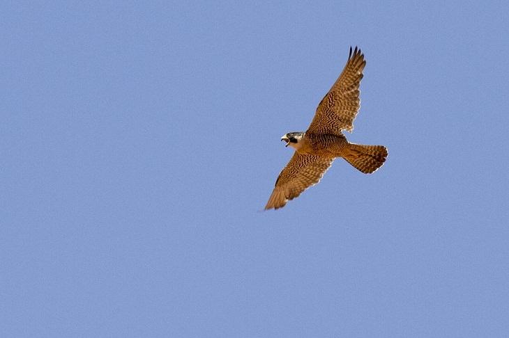 peregrine falcon sight