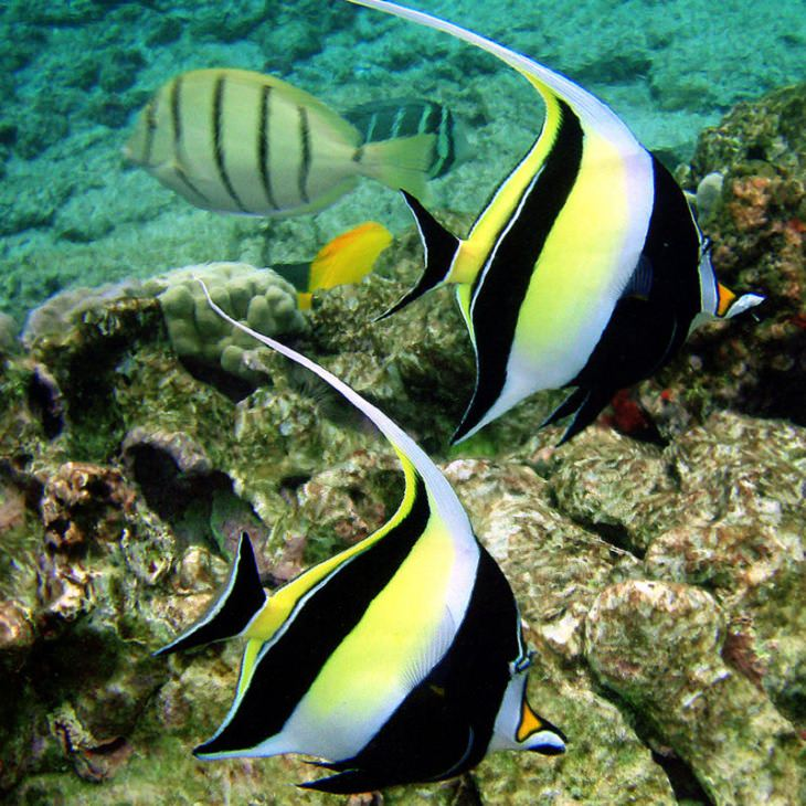 Beautiful, colorful and bright ocean fish with unique features that are ideal for marine and saltwater home aquariums, Moorish idol (Zanclus cornutus)