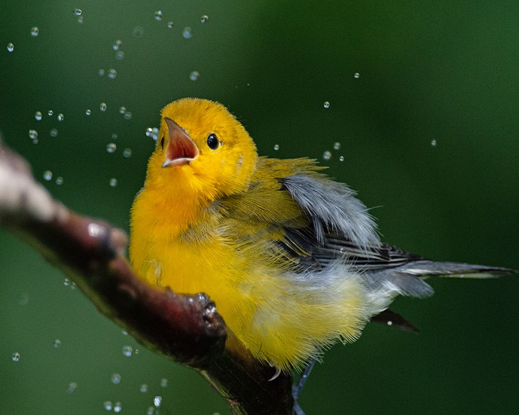 Beautiful winner and runner up entries of the Garden for Wildlife Photo Contest 2019, which show the meeting of nature, wildlife, people, plants and habitats in different settings, Grand-Prize Winner, Male Prothonotary Warbler in Shower, By Randy Streufert from Lorton, Virginia