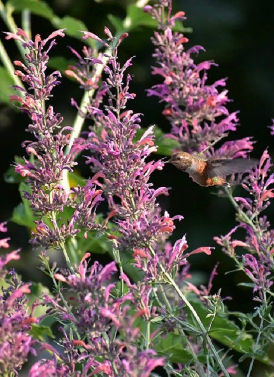 Finalists of the Fall/Winter High Country Garden Photography Contest, GRAND PRIZE WINNER: Hummingbird & Agastache By Dylan Tucker