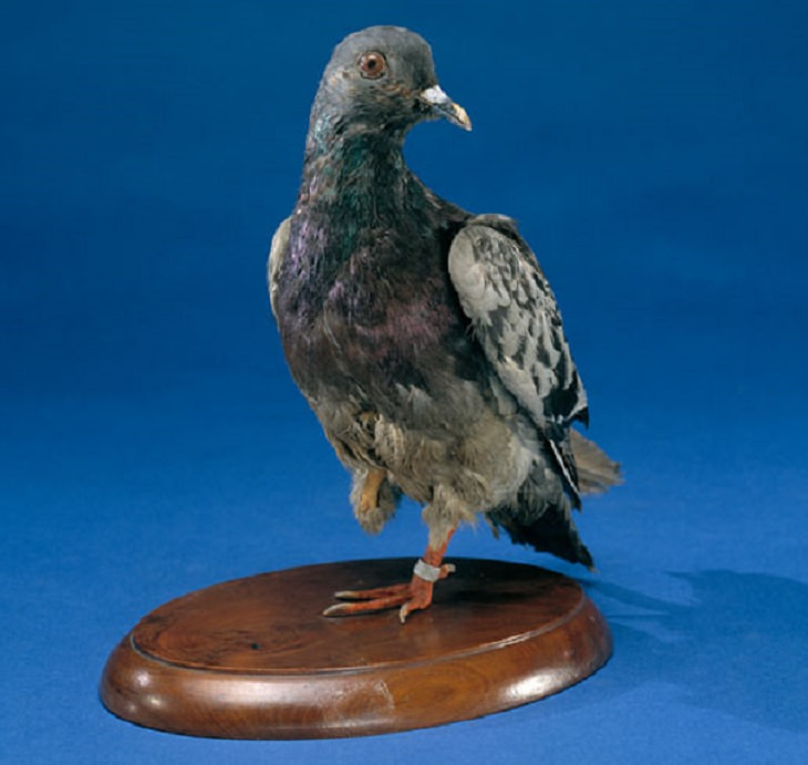 Most Famous Animals in the world, Cher Ami, the homing pigeon that earned the Cross of War Award