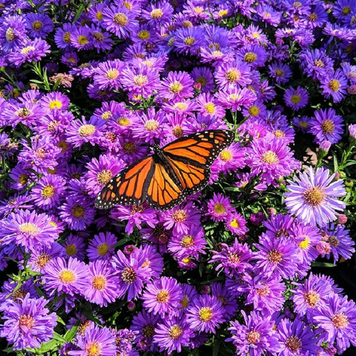 Finalists of the Fall/Winter High Country Garden Photography Contest, Monarch & Aster By Samantha Mostek