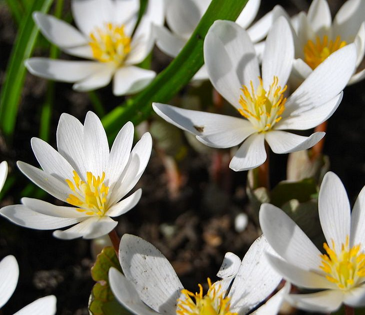 Colorful wild flowers found in the Smoke Mountains region, Bloodroot (Sanguinaria canadensis)
