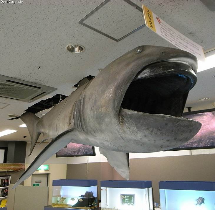 Beautiful, unique and fascinating species of sharks that are the least aggressive, and least dangerous to human beings and pose the least risk or threat, The Megamouth Shark (Megachasma pelagios)