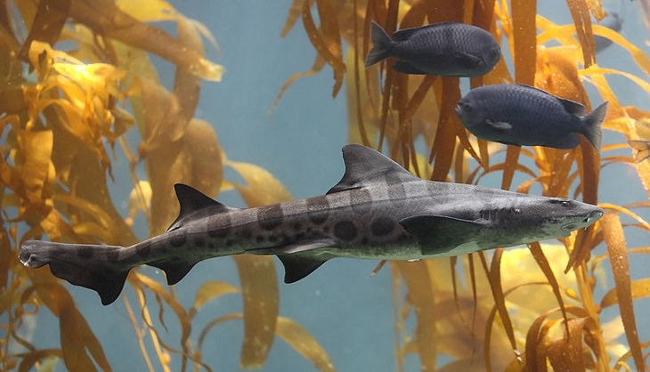 Beautiful, unique and fascinating species of sharks that are the least aggressive, and least dangerous to human beings and pose the least risk or threat, The Leopard Shark (Triakis semifasciata)