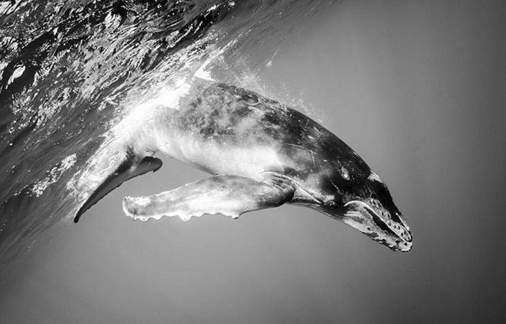 Black and white underwater photography of ocean animals by Christian Vizl, humpback calf diving into water
