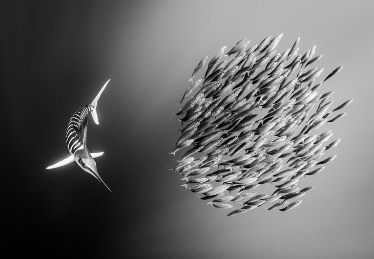 Black and white underwater photography of ocean animals by Christian Vizl, striped marlin