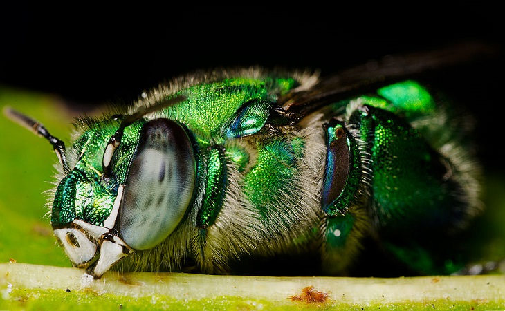 Most beautiful bugs and colorful insects found all over the world, Orchid Bee (Euglossa viridissima)