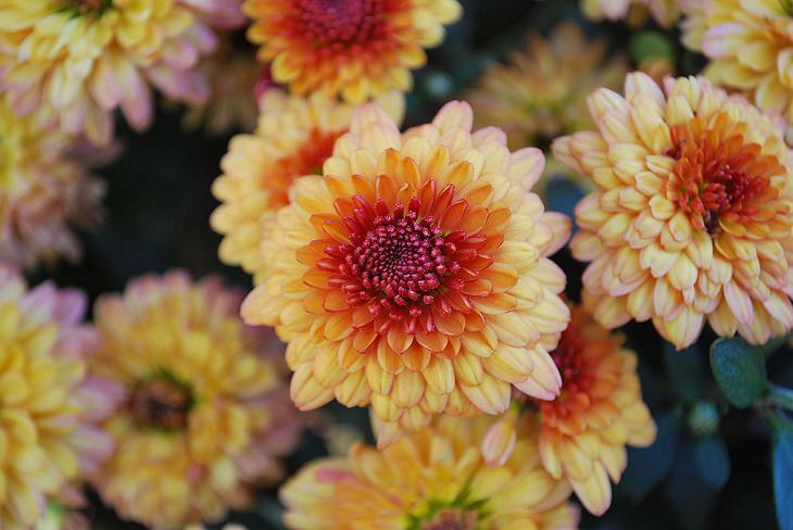 Different beautiful and colorful species, hybrids and types of Chrysanthemums, Tiger Tail Chrysanthemum