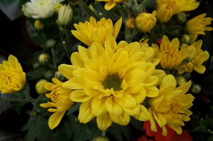 Different beautiful and colorful species, hybrids and types of Chrysanthemums, Yellow Chrysanthemum
