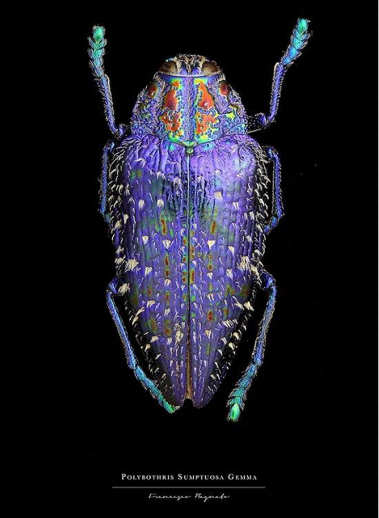 Macro-Photography of insects, bugs, as part of the photo series Entomology, by photographer Francesco Bagnato, Polybothris Sumptuosa Gemma (Purple Madagascar Beetle)