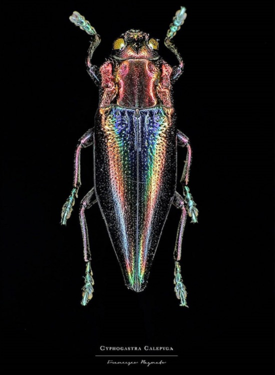 Macro-Photography of insects, bugs, as part of the photo series Entomology, by photographer Francesco Bagnato, Cyphogastra Calepyga (Shiny Green Jewel Beetle)