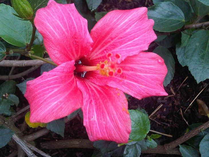Different species and types of hibiscus in a variety of colors, Mandrinette (Hibiscus fragilis)