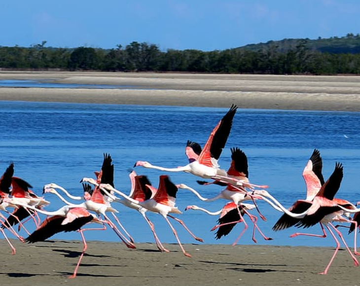 Fascinating and lesser-known facts about flamingos, The flight feathers (found under the wings) of flamingos are black and can only be seen while flying