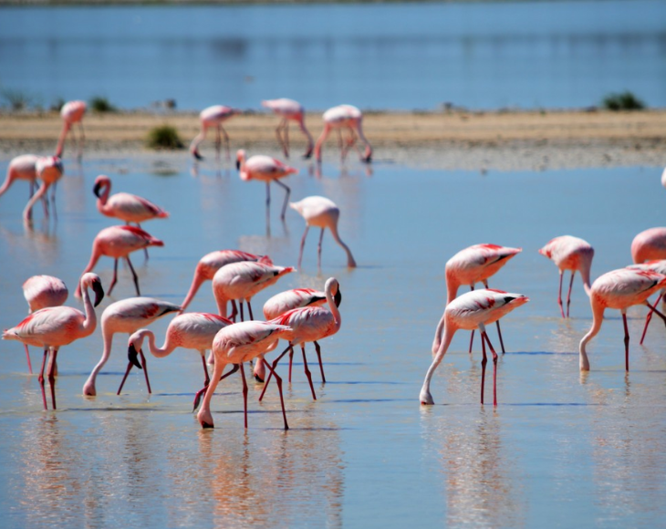 Fascinating and lesser-known facts about flamingos, Flamingos don't have teeth. They have hairlike structures in their beak that filter prey and silt scooped from water