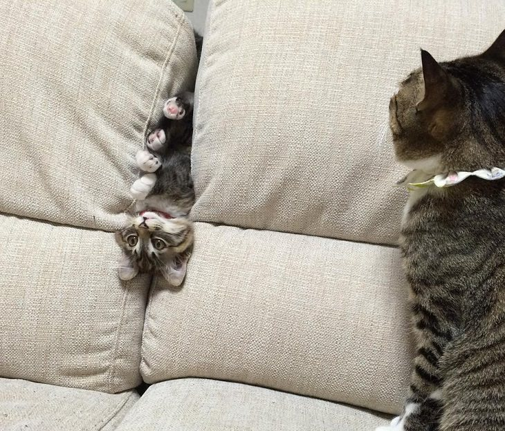 Hilarious and funny photos of broken cats caught in weird and odd positions, kitten trapped in a sofa
