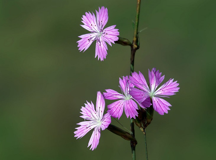 Different types and species of brightly colored Pink flowers in the Carnation Family of the genus Dianthus, Wild Pink (Dianthus strictus)