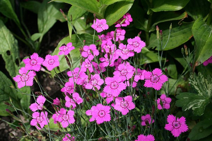 Different types and species of brightly colored Pink flowers in the Carnation Family of the genus Dianthus, The Maiden Pink (Dianthus deltoides)