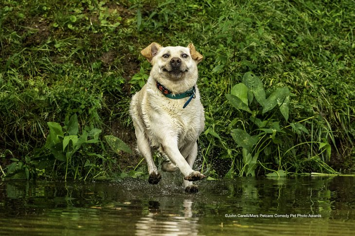 Best and funniest finalists from the Mars Petcare Comedy Pet Photo Awards, 2020, 'Look Mom - I Can Walk On Water' By John Carelli