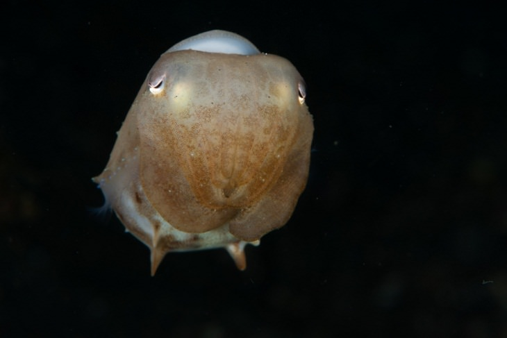 Deadly Animals Found in Australia, Grimpoteuthis