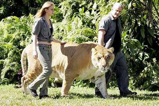 world's largest cat/tiger