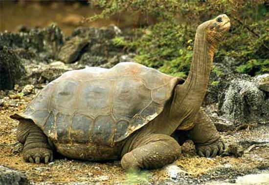 world's largest tortoise