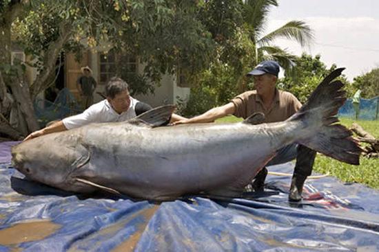 world's biggest cat fish