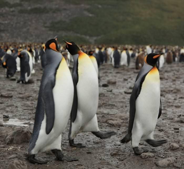 penguins south georgia