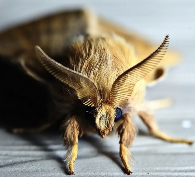The Poodle Moth