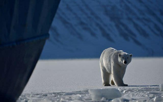 confronting a polar bear