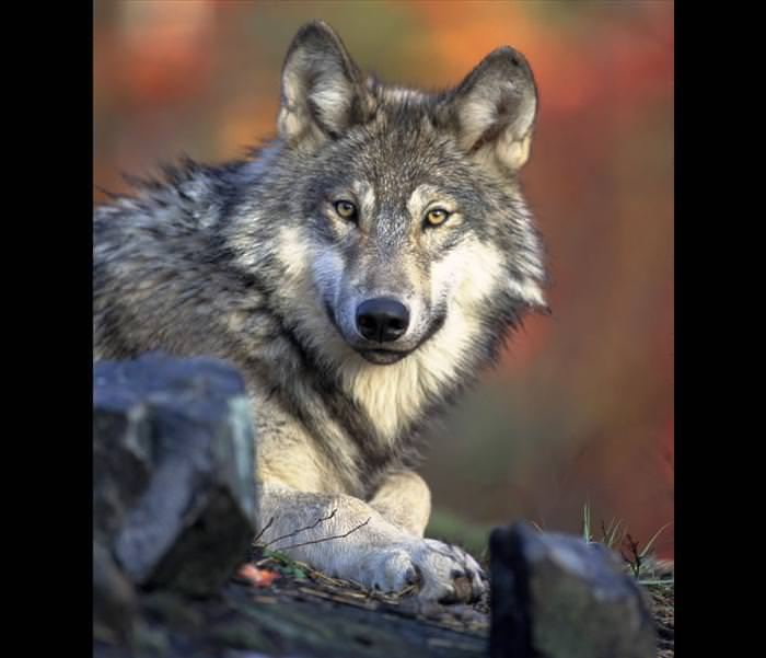 wolf photos and facts