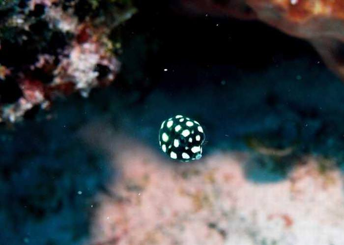 Cute Underwater Creatures baby boxfish