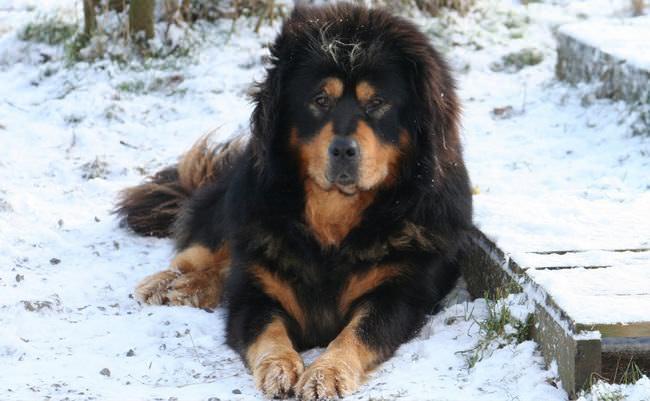 20 Unique Breeds of Canine: tibetan mastiff in the snow