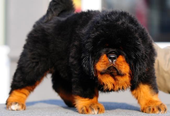 20 Unique Breeds of Canine: Tibetan mastiff