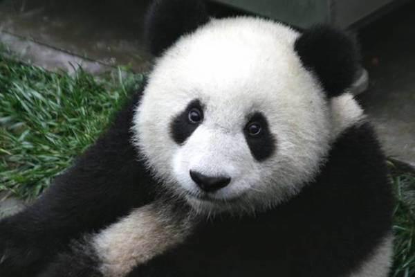 15 Panda Facts