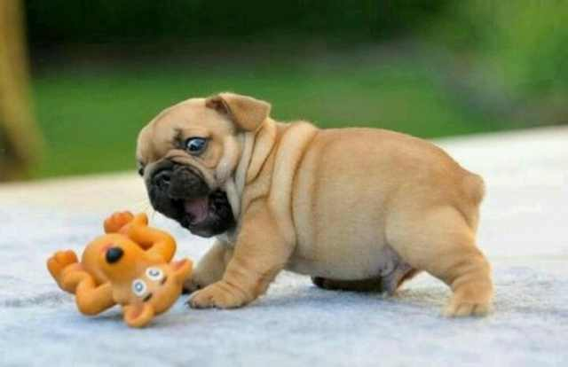 Wrinkled Puppies
