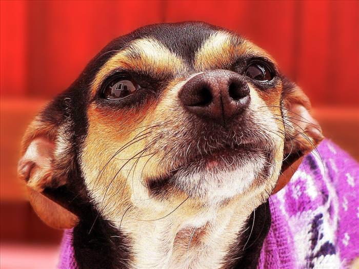 Chiste: El Chihuahua y La Pantera